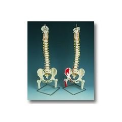 AliMed Flexible Spinal Column Flexible Spinal Column w/Movable Femur Heads