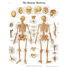 3b Scientific Anatomical Chart - Human Skeleton, Sticky Back