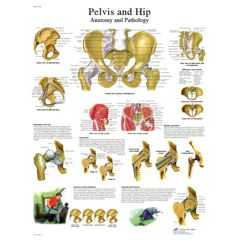 3b Scientific Anatomical Chart - Hip & Pelvis, Paper