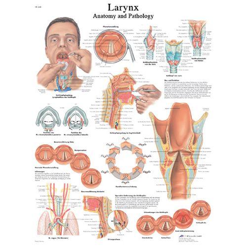3b Scientific Anatomical Chart - Larynx, Laminated Model 573 570597 00