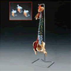 Lippincott Muscle Spine With Disorders With Stand