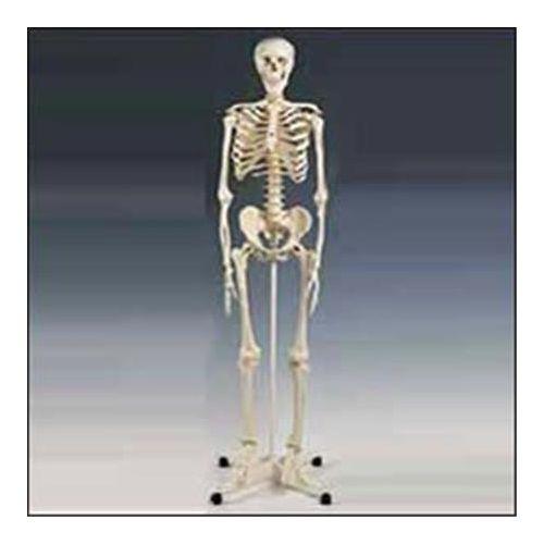 Lippincott Model Full Skeleton W/Stand Model 734 0004