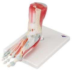 3b Scientific Anatomical Model - Foot Skeleton With Removable Ligaments & Muscles, 6-Part