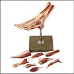 Lippincott Muscles Of The Foot Model