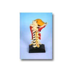 Muscle Cervical Anatomical Model