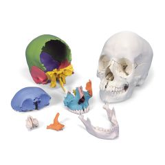 3b Scientific Anatomical Didactic Skull, Beauchene 22-Part