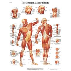 3b Scientific Anatomical Chart - Musculature, Sticky Back