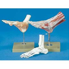Functional Foot/Ankle Anatomical Models