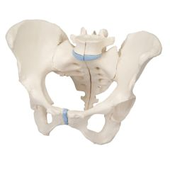 3b Scientific Anatomical Model - Female Pelvis, 3-Part