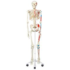 3b Scientific Anatomical Model - Max The Muscle Skeleton On Roller Stand