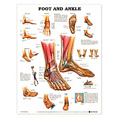 Complete Medical Products The Foot & Ankle Chart