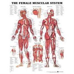 Lippincott Chart Female Muscular System 1.5 Mil 20X26 Lamnt