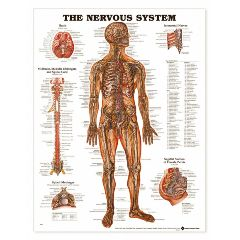"""Complete Medical Products Nervous System Chart 20""""x 26"""""""