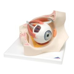 3b Scientific Anatomical Model - Eye, 7-Part (3x Size)