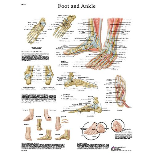 3b Scientific Anatomical Chart - Foot & Ankle, Paper Model 573 1027