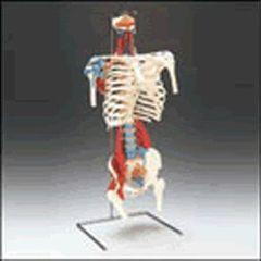 Lippincott Skeletal Torso