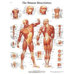 3b Scientific Anatomical Chart - Musculature, Laminated