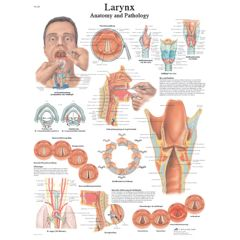 3b Scientific Anatomical Chart - Larynx, Paper