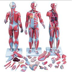 3b Scientific Anatomical 1/2 Life-Size Complete Dual Sex Muscle Model, 33-Part
