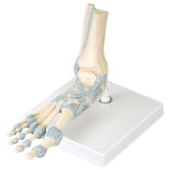 3b Scientific Anatomical Foot Skeleton With Ligaments