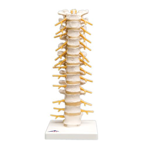 3b Scientific Anatomical Model - Thoracic Spinal Column Model 573 571277 00