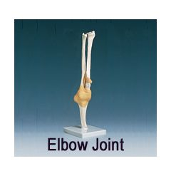 AliMed Anatomical Model - Elbow Joint, Functional
