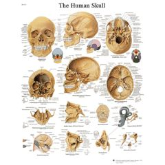 3b Scientific Anatomical Chart - Human Skull, Laminated