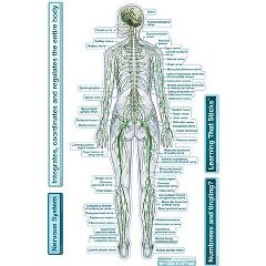 Bodypartchart, Llc Bodypartchart Nervous System - Rear View - Labeled Wall Decal