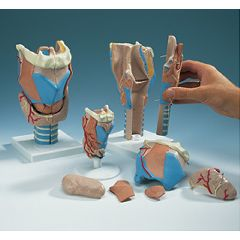 AliMed Larynx Model
