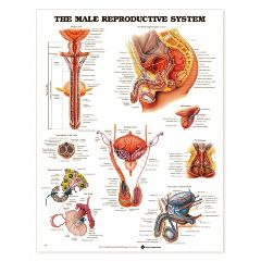 Male Reproductive Chart