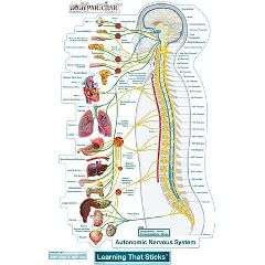 Fathead Llc BodyPartChart Autonomic Nervous System - Wall Decal
