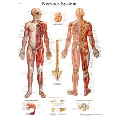 3b Scientific Anatomical Chart - Nervous System Chart, Laminated