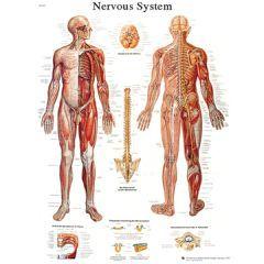 3b Scientific Anatomical Chart - Nervous System Chart, Sticky Back - Anatomical Chart - Nervous System Chart, Sticky Back