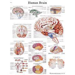 3b Scientific Anatomical Chart - Human Brain, Paper - Anatomical Chart - Human Brain, Paper
