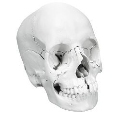 3b Scientific Anatomical Anatomical Skull, Beauchene 22-Part - Anatomical Model - Anatomical Skull, Beauchene 22-Part
