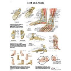 3b Scientific Anatomical Chart - Foot & Ankle, Laminated - Anatomical Chart - Foot & Ankle, Laminated