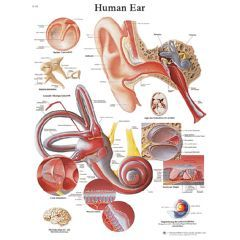 3b Scientific Anatomical Chart - Ear, Laminated - Anatomical Chart - Ear, Laminated