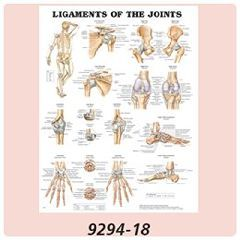 Anatomical Charts The Human Skeleton - Each