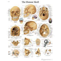 3b Scientific Anatomical Chart - Human Skull, Laminated - Anatomical Chart - Human Skull, Laminated