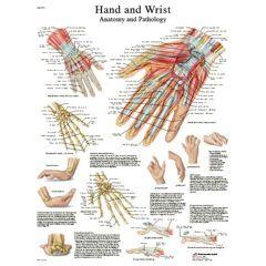 3b Scientific Anatomical Chart - Hand & Wrist, Laminated - Anatomical Chart - Hand & Wrist, Laminated