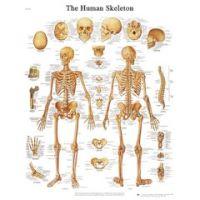 3b Scientific Anatomical Chart - Human Skeleton, Paper - Anatomical Chart - Human Skeleton, Paper