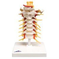 3b Scientific Anatomical Model - Cervical Spinal Column - Anatomical Model - Cervical Spinal Column