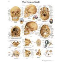 3b Scientific Anatomical Chart - Human Skull, Sticky Back - Anatomical Chart - Human Skull, Sticky Back