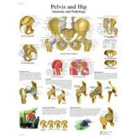 3b Scientific Anatomical Chart - Hip & Pelvis, Paper - Anatomical Chart - Hip & Pelvis, Paper