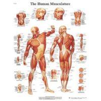 3b Scientific Anatomical Chart - Musculature, Sticky Back - Anatomical Chart - Musculature, Sticky Back