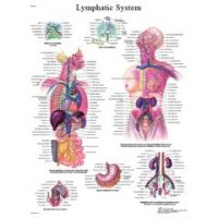 3b Scientific Anatomical Chart - Lymphatic System, Laminated - Anatomical Chart - Lymphatic System, Laminated