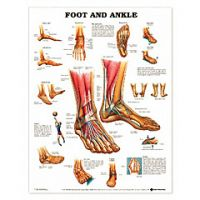 The Foot & Ankle Chart - Each