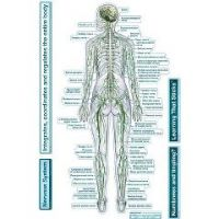 Bodypartchart Nervous System - Rear View - Labeled Wall Decal