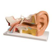 3b Scientific Anatomical Model - Ear, 4-Part (3x Size) - Anatomical Model - Ear, 4-Part (3X Size)